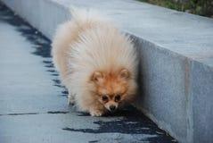 小蓬松狗在公园走 图库摄影
