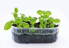 小蓬蒿种植生长在有被隔绝的土壤的塑料盘子 免版税图库摄影