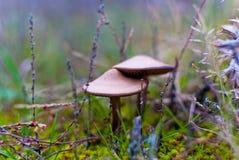 小蘑菇伞菌温暖的秋天 免版税库存图片