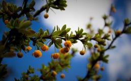 小蘖属heterophylla花和天空 库存照片