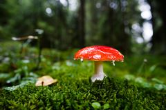 小蛤蟆菌蘑菇 图库摄影