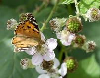 小蛱蝶(拉丁名字- aglais urticae)象鼻鳞翅类收集花蜜 免版税库存照片