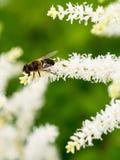小蜂坐白色甜味花,收集花粉 免版税库存照片