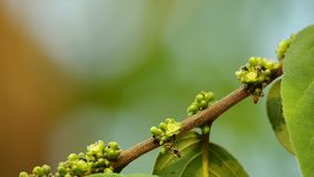 小蜂收集花蜜 影视素材