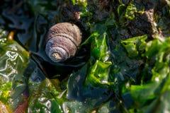 小蜗牛壳在绿色海带坐 库存图片