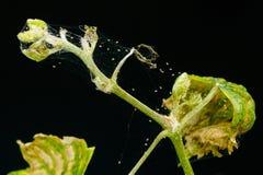 小蜘蛛在葡萄年轻毒菌寄生于,隔绝在黑背景 库存照片