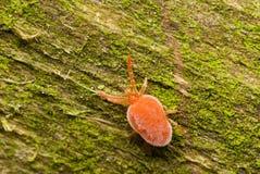 小蜘蛛天鹅绒 免版税图库摄影