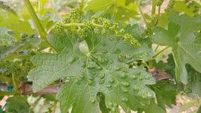 小蜘蛛导致在加伯奈葡萄酒葡萄酒叶子的这些爆沸 免版税库存图片