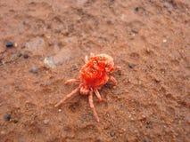 小蜘蛛红色trombidiformes 免版税库存照片