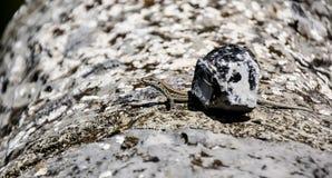 小蜥蜴在一个温暖的夏日 免版税库存图片