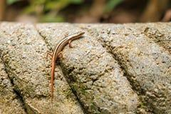 小蜥蜴在石头取暖在阳光下 库存照片