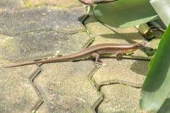 小蜥蜴本质上被找到在家中 库存照片