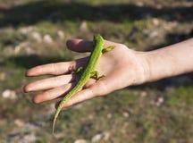 小蜥蜴在手边坐 库存图片