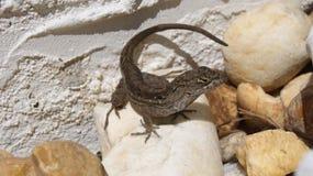 小蜥蜴坐岩石 免版税库存图片