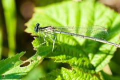 小蜻蜓坐一片绿色叶子 免版税库存照片