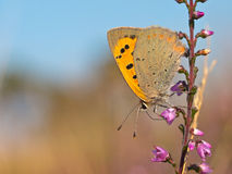 小蝴蝶铜lycaena的phlaeas 免版税库存照片