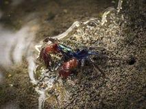 小螃蟹在巴厘岛,印度尼西亚美洲红树森林里  免版税库存图片
