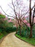 小街道充满野生喜马拉雅樱桃 库存照片