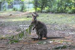 小袋鼠吃着叶子 免版税图库摄影