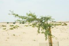 小被保护的栽培植物在沙漠 库存图片