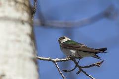 小被栖息的树燕子 免版税库存图片