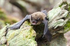 小褐色蝙蝠,乔治亚美国 免版税库存图片