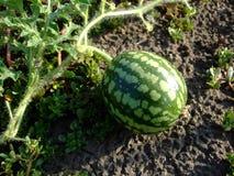 小西瓜在庭院里增长 图库摄影