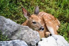 小观看从后面巨石城的白尾鹿小鹿 免版税库存图片