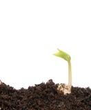 小豆的幼木 免版税库存照片