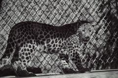 小豹子 免版税库存图片