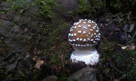 小豹盖帽蘑菇 免版税库存图片