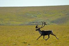 小跑公牛北美驯鹿 库存照片