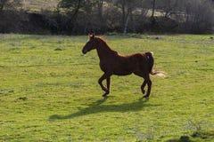小跑在一个绿色牧场地的老Saddlebred母马 图库摄影