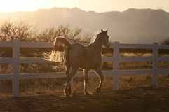 小跑在日落的由后面照的马 库存照片