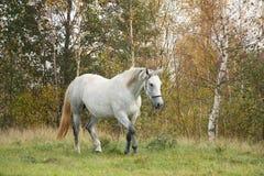 小跑在森林里的白色阿拉伯马 免版税库存图片