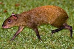 小跑在Monteverdi云彩雨林储备,哥斯达黎加的刺豚鼠 库存照片