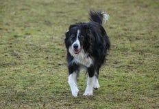 小跑往照相机的博德牧羊犬或护羊狗 免版税库存照片