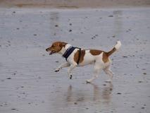 小跑沿海滩的狗 免版税库存照片