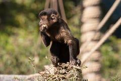 小连斗帽女大衣猴子吃 免版税库存图片
