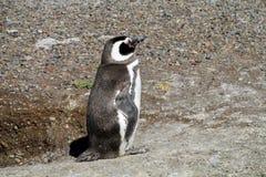 小逗人喜爱的企鹅 免版税库存图片