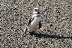 小逗人喜爱的企鹅 免版税库存照片