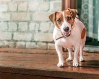 小逗人喜爱的愉快的微笑的狗起重器罗素狗常设外部前面画象在老砖房子木门廊的在ope旁边的 免版税库存照片