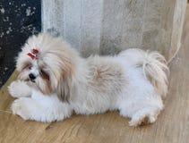 小逗人喜爱的狗白色拉萨 免版税图库摄影