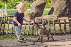 小逗人喜爱的男孩喂养一只小新出生的山羊 库存图片