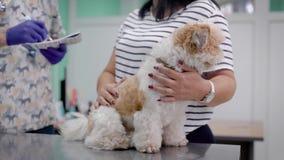 小逗人喜爱的shih tzu狗坐一张金属桌在一个兽医办公室,医生站立和咨询 股票录像