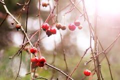 小野苹果在苹果树的分支垂悬在秋天森林里 库存照片