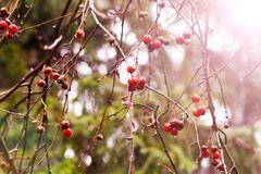 小野苹果在苹果树的分支垂悬在秋天森林里 库存图片