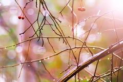 小野苹果在苹果树的分支垂悬在秋天森林里 免版税库存照片