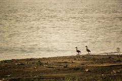 小野鸭在泰国 免版税库存照片
