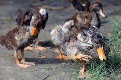 小野鸭或野鸭 免版税库存照片
